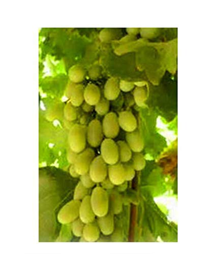 Hot-Sale!!Mixed 50 /Pack Grape Fruit Seed Seed Fruit Tree Seedlings Potted Seedlings Kyoho Grape Seed Red Mention -