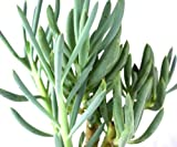 1 Plant Blue Chalk Stick Senecio Serpens Live Plant 5-8 Inch Tall 3-5 Month from Cutting