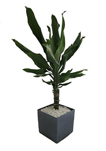 Amazon.de Pflanzenservice Zimmerpflanzen Drachenbaum Dracena Fragans im 12 cm Topf, 30 cm hoch mit Scheurich Würfelumtopf circa 14 x 14 x 14 cm, anthrazit / stone / grün