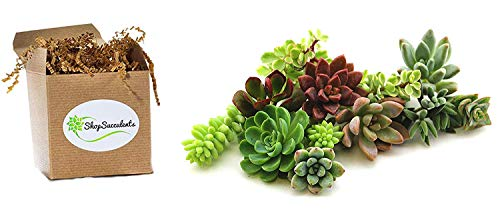 Shop Succulents   Assorted Collection of Live Succulent Cuttings, Hand Selected Unique Variety Pack of Cut Succulents  Collection of 10