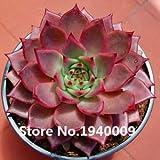 Fresh Rare Echeveria secundav Glauca Seeds Bonsai Succulent Plant Flower Seeds DIY Potted Plants- 10 Seeds/Pack