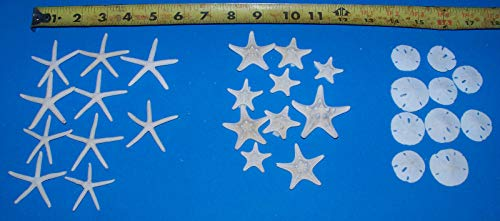 OutletBestSelling Polished Sea Shells \ Beach Shells 10 Bleached White KNOBBY 10 White Finger Starfish 10 Sand Dollars 1