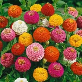 500 Zinnia Lilliput Mix Flower Seeds - Heirloom Open Pollinated Multi Color Blooms Love Blooms Seed Packets