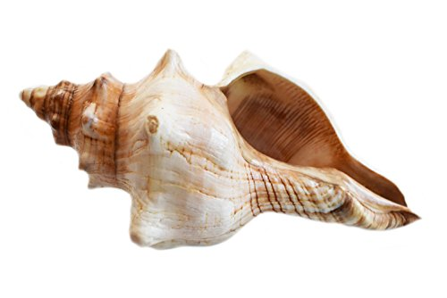 - Florida Shells and Gifts Inc. One Genuine Striped Fox Conch Seashell (6-7/154-178 mm) Display Beach Wedding Decor