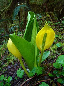 Skunk Cabbage Root, Cut&Sifted - Wildcrafted - Dracontium foetidum (454g = One Pound) Brand: Herbies Herbs