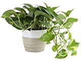Costa Farms Devil's Ivy Golden Pothos 10-Inches Tall Indoor Plant in Décor Planter, 6, White-Natural
