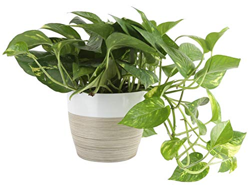 Costa Farms Devil's Ivy Golden Pothos, Indoor Plant in in Décor Planter, 6-Inch, White-Natural