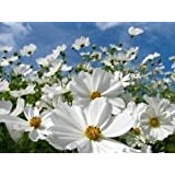 Indian Gardening Purity White Cosmos Bipinnatus Flower Seeds 30 Seeds