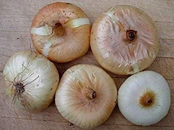 Shoppy Star: Conjuntos de cebolla amarilla Cipollini, (20 Bulbos) No-GMO, la herencia de cebolla gastrónomo italiano