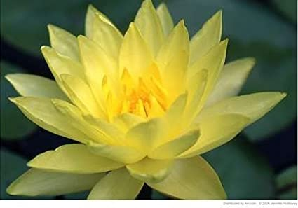 Amazoncom 10 Yellow Lotus Sacred Water Lily Lily Pad Asian