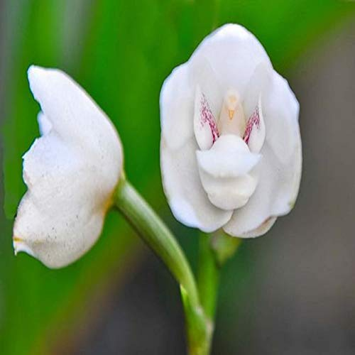 Pinkdose Únicas flores de orquídeas blancas Espíritu Europea ...