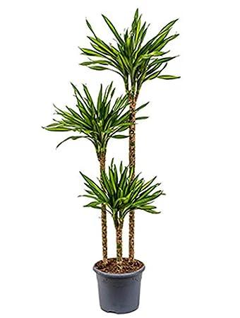 Zimmerpflanzen Für Schatten drachenbaum riki 110 140 cm im 26 cm topf große zimmerpflanze