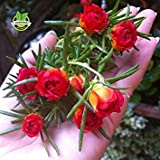 Brand New! 500 Mixed Color Moss-rose Purslane Double Flower Seeds for planting (Portulaca grandiflora), heat tolerant ,easy growing