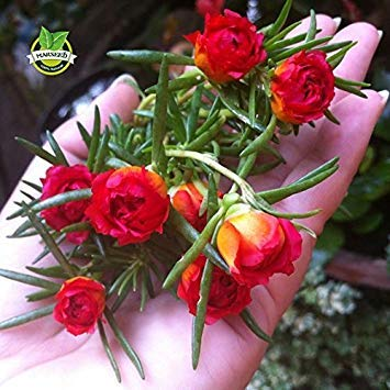 Brand New! 500 Mixed Color Moss-rose Purslane Double Flower Seeds for planting (Portulaca grandiflora), heat tolerant ,easy growing ()