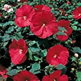 Outsidepride Hibiscus Luna Red - 10 Seeds