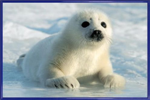 Seals Poster and Frame Plastic - Harp Seal Pup