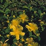 Hypericum (St Johns Wort) calycinum 1,000 seeds