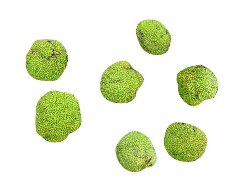 (30 Osage Orange Seeds (Maclura Pomifera) (Bow Wood, Hedgeapple, Orange, Osage) Family: Moraceae)