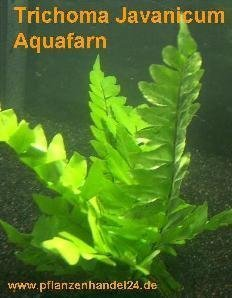 3 Bunde Trichoma javanicum, Aquafarn, Farn
