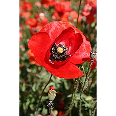 Red American Legion Poppy Seeds, 3000+ Premium Heirloom Seeds! - A Symbol of Remembrance, ON Sale! - 85-90% Germination Rates - (Isla's Garden Seeds) - Highest Quality Seed : Garden & Outdoor