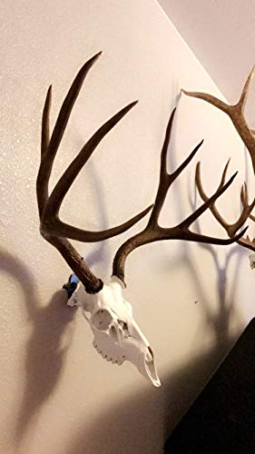 Buy european whitetail deer skull