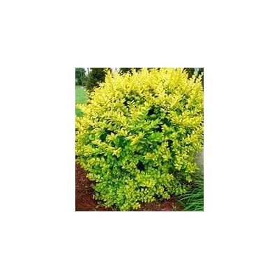 (1 Gallon) Golden Vicary Privet or Golden ligustrum, is a Perennial Shrub That is commonly Used in Hedge and Privacy Screen plantings and as an Accent Plant in Home Landscapes. : Garden & Outdoor