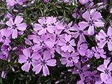 Classy Groundcovers - Phlox 'Purple Beauty' Creeping Phlox, Moss Phlox {25 Pots - 3 1/2 in.}