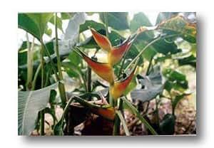 1 Rhizome Root of Heliconia Bihai (Kuma Negro)