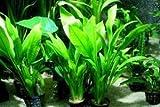 3 plants of Amazon Sword Plant (Echinodorus Bleheri) - Live Aquarium Plant