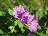 Home Comforts Peel-n-Stick Poster of Flora Botany Wildflower Geranium Pyrenaicum Vivid Imagery Poster 24 x 16 Adhesive Sticker Poster Print