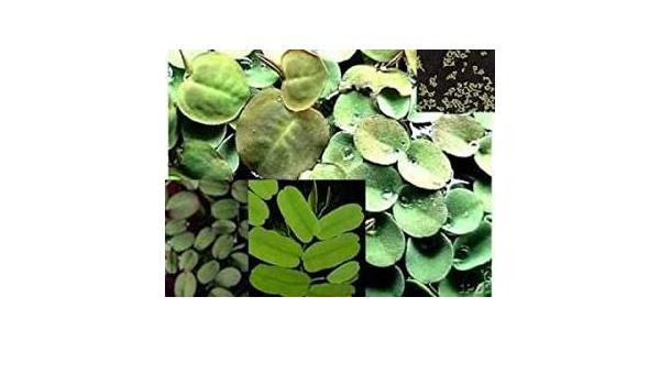 Selección de 20-25 plantas flotantes, 4 variedades, contra ...