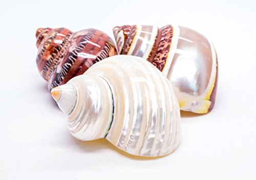 Hermit Crab Home Turbo Shell | 3pcs Gold Mouth Pearl and Petholatus Solid and Petholatus Banded Turbo Shells | 3 Polished Turbo Shells 2