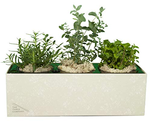 The Three Company Air Purifying Live Herb Combo (Eucalyptus, Rosemary, Mint), Self Watering Planter, Breathe Easier