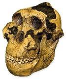 Zinjanthropus OH-5 Skull (Teaching Quality Recreation)