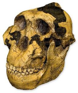 Zinjanthropus OH-5 Skull (Teaching Quality Recreation) by Skulls Unlimited International (Image #2)