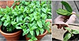 100 Seeds Lemon Mint Seeds Aromatic Herb Plant Mentha Arvensis Seeds Bonsai Herb Plants Edible #32837984256ST