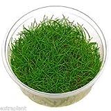 Eleocharis sp. Mini in Tissue Culture Dwarf Hairgrass Mini Live Aquarium Plants