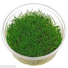 Eleocharis sp. Mini in Tissue Culture Dwarf Hairgrass Mini Live Aquarium Plants by plantsfactory