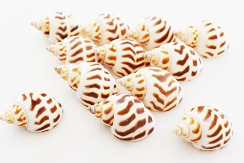 - 12 Select Babylonia Areolata Shells Seashells 1