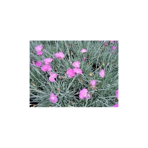 (1 Gallon) Dianthus 'Firewitch' Cheddar/border Pinks, Blue/green Foliage, Bright Pink Flowers, Spreading for cheap