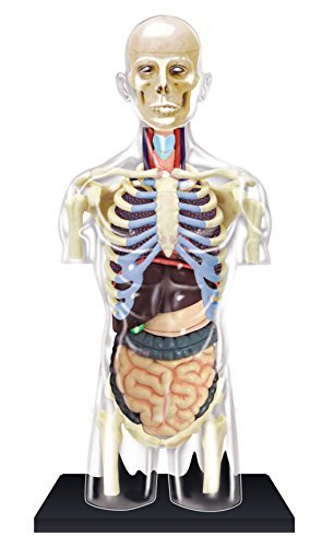 Transparent Torso Anatomy Model – Build your Own with 37 detachable parts & stand!