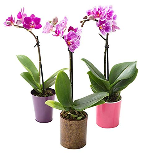 KaBloom Live Orchid Plant Collection: Set of 3 Mini Vibrant Fresh Purple Orchid Plants (8-11 inches Tall) in 3 Inch Pot by KaBloom