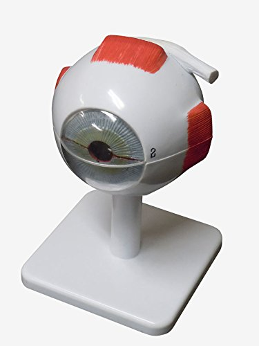 名作 人体模型 人体模型 眼球 眼球 3倍拡大模型 3倍拡大模型 B00NATFW3I, ビューティハーモニー:7214a987 --- a0267596.xsph.ru