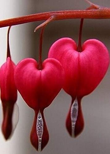 Beautiful Red Bleeding Hearts Flower Dicentra Spectabilis 50 Seeds