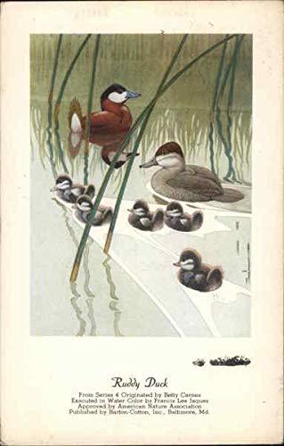 Ruddy Duck From Series Four Birds Original Vintage Postcard