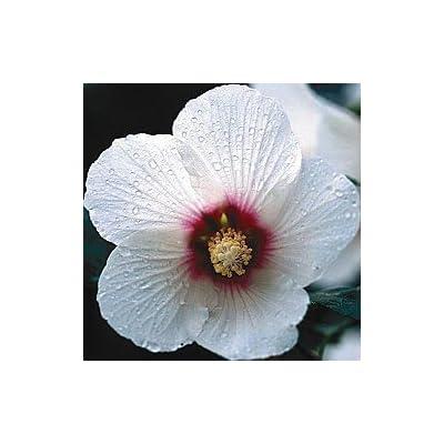 Spring Hill Nurseries Lohengrin, Rose of Sharon Hybrids : Shrub Plants : Garden & Outdoor