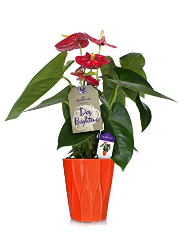 Hallmark Flowers Happy Hearts Red Anthurium in 5-Inch Orange Ceramic Container by Hallmark Flowers