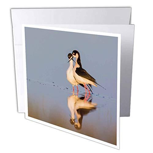 3dRose Danita Delimont - Birds - Black-Necked Stilts, Courtship Dance - 12 Greeting Cards with envelopes (gc_313951_2)