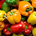 Rainbow Blend Sweet Bell Pepper Seeds, 50+ Premium Heirloom Seeds,So much fun!! A must have for your home garden! (Isla's Garden Seeds), Non Gmo Organic, 85-90% Germination Rates, Seeds