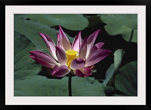 GreatBIGCanvas ''Indonesia, Bali, Pink And White Lotus Flower Surrounded By Green Leaves'' by Robert Sablan Photographic Print with Black Frame, 36'' x 24'' by greatBIGcanvas
